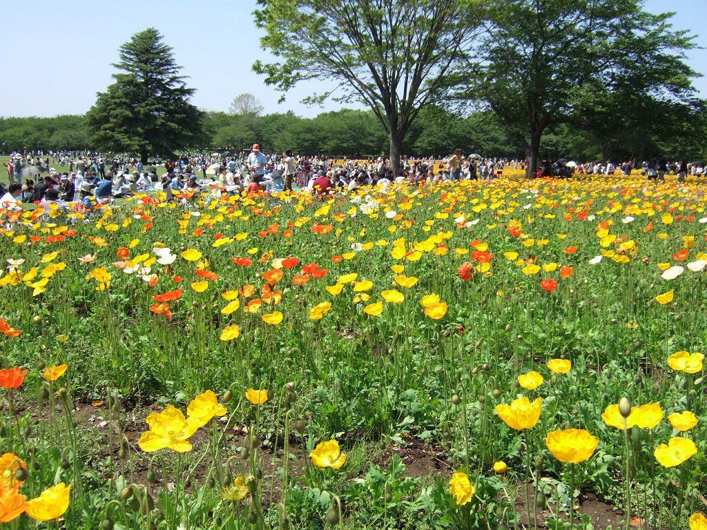 昭和記念公園 ポピー花畑